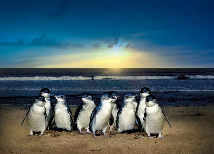 Австралийский Парад пингвинов на Phillip Island